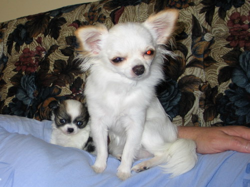 long haired chihuahua  puppies for sale