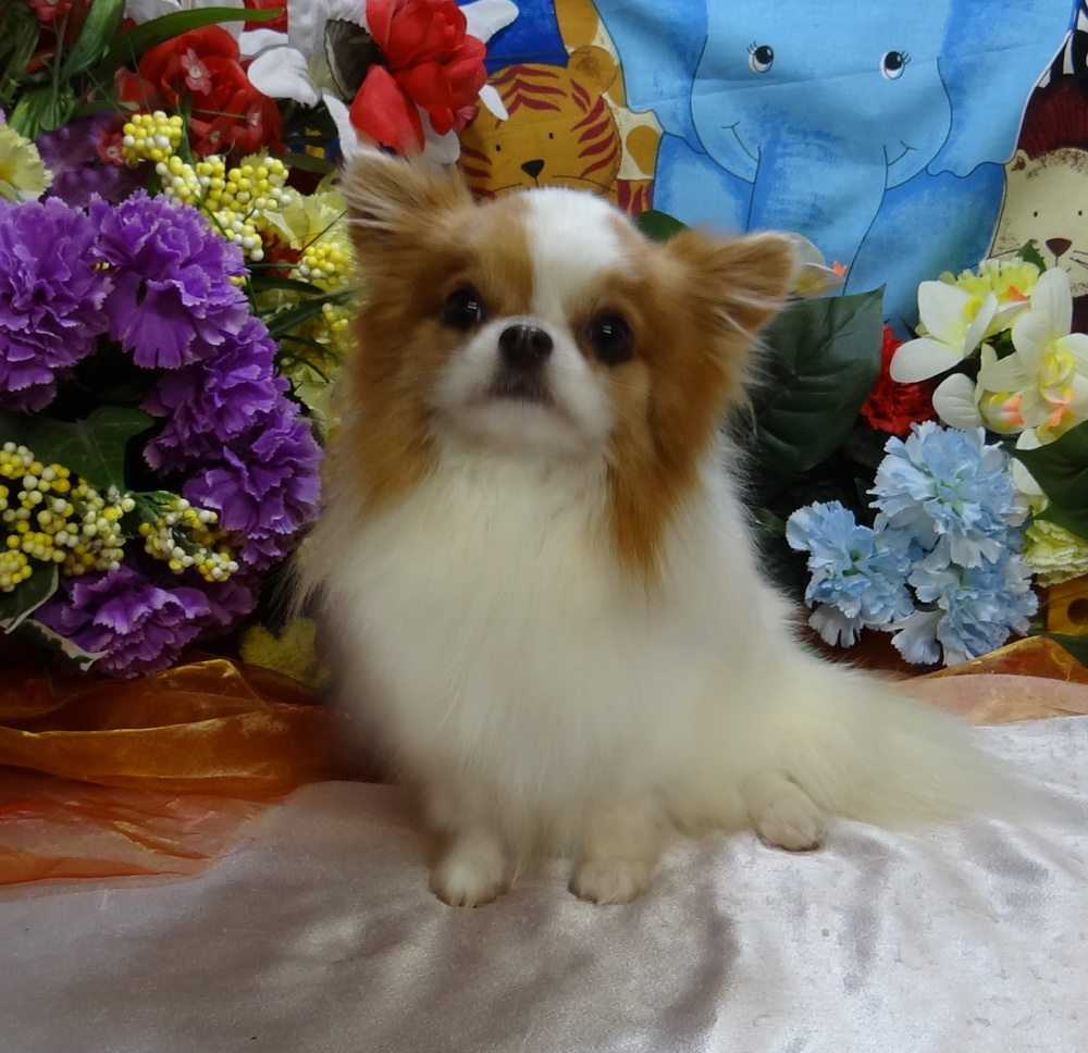 Chihuahuas For Sale | Teacup Chihuahua Puppies | Long Haired